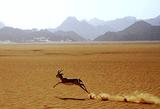 Gazelle1_4